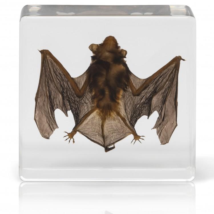 Bat Specimen- Real Bat Specimen, Encased Animal Specimen for Science Classrooms or Gifts